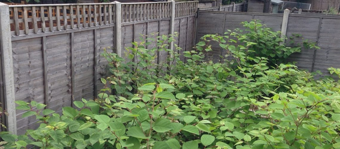 How To Make Sour Cream Japanese Knotweed Cookies